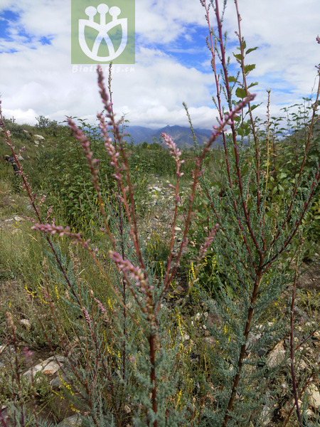 Myricaria paniculata