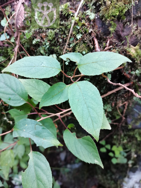 Clematoclethra scandens