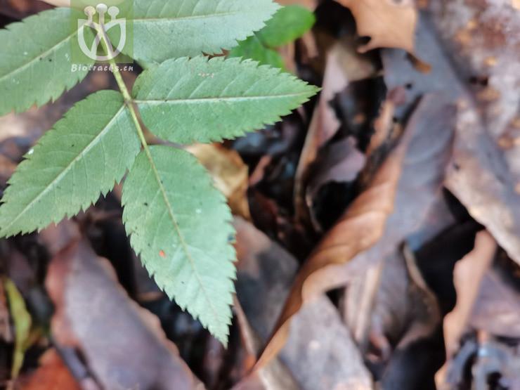 Elaeodendron parvifolium