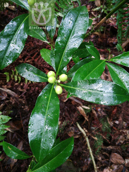 Skimmia japonica var. reevesiana