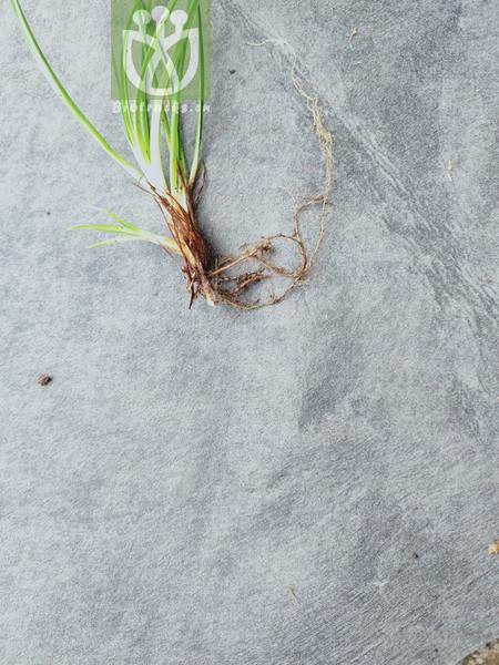 Salix macrophylla