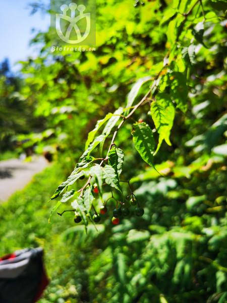 Solanum japonense