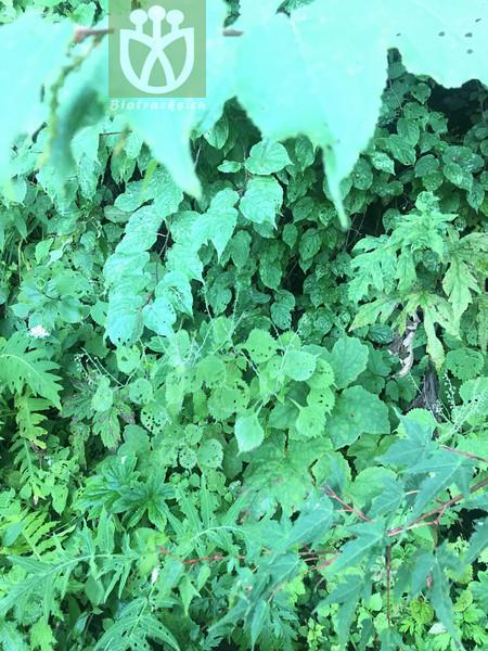 Salvia maximowicziana