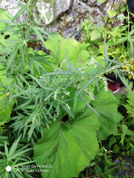 Artemisia dubia