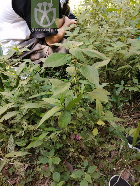 Acalypha pauciflora
