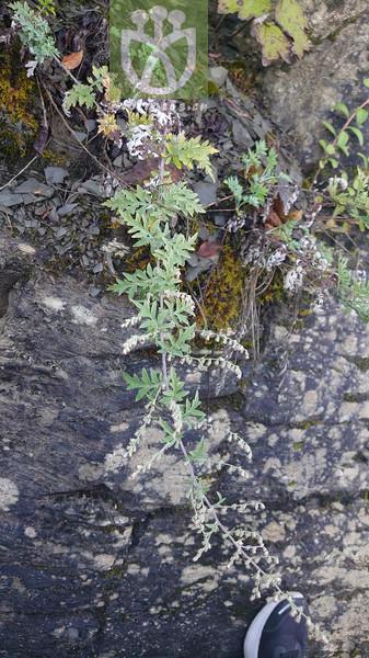 Artemisia imponens