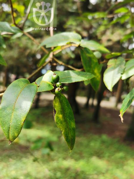 Lonicera tragophylla