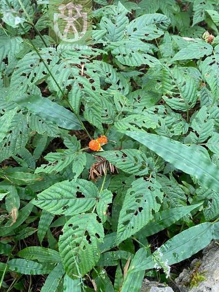 Rubus idaeus var. leesii