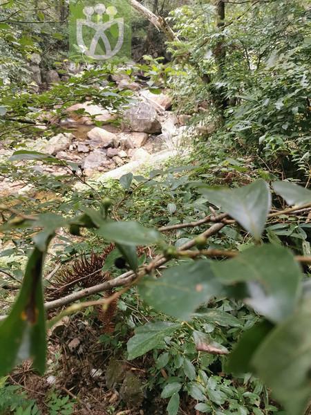 Ziziphus ramosissima