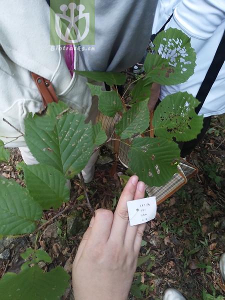 Corylus heterophylla