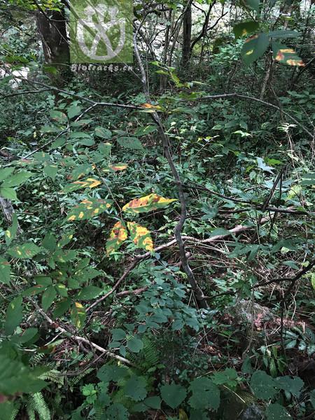 Zelkova acuminata