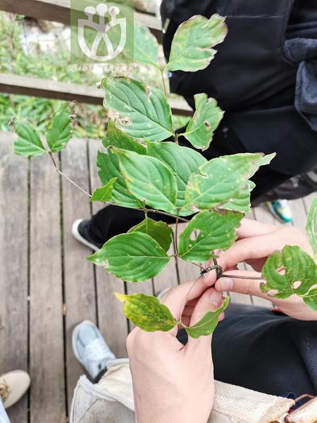 Cornus kousa subsp. chinensis