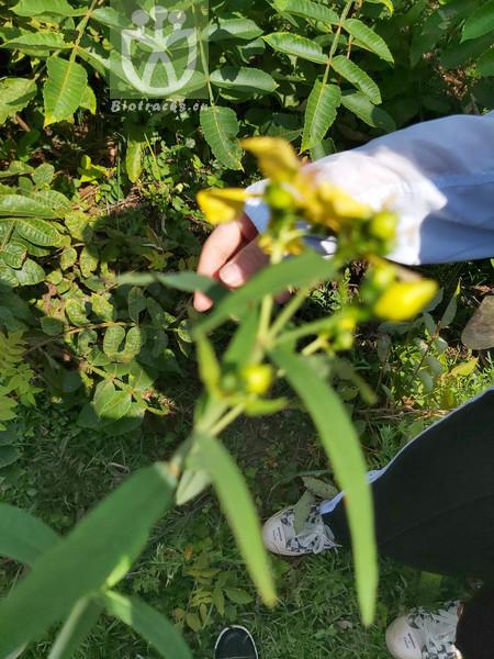 Hypericum griffithii