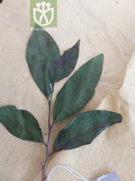 Stewartia villosa var. serrata