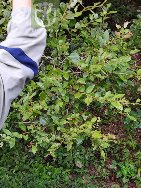 Salix yanbianica
