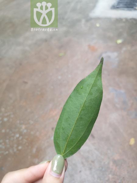 Cinnamomum japonicum