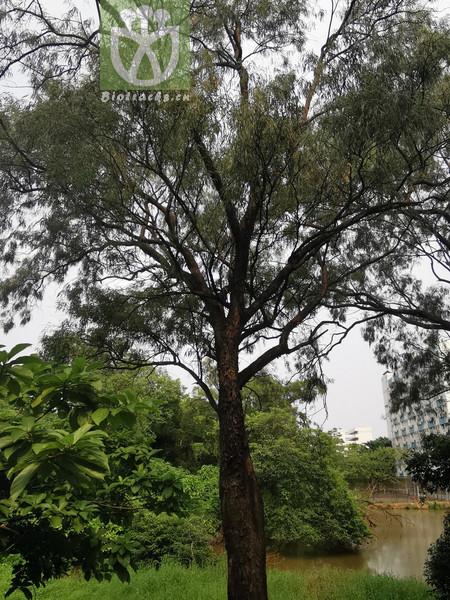 Eucalyptus tereticornis var. cineolifera