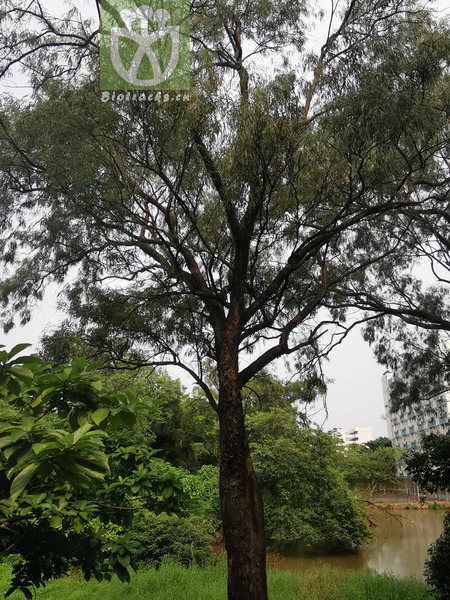 Eucalyptus insignis
