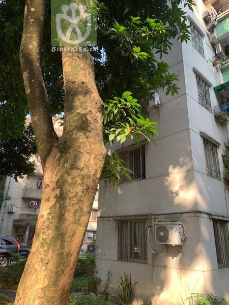 Elaeocarpus rugosus