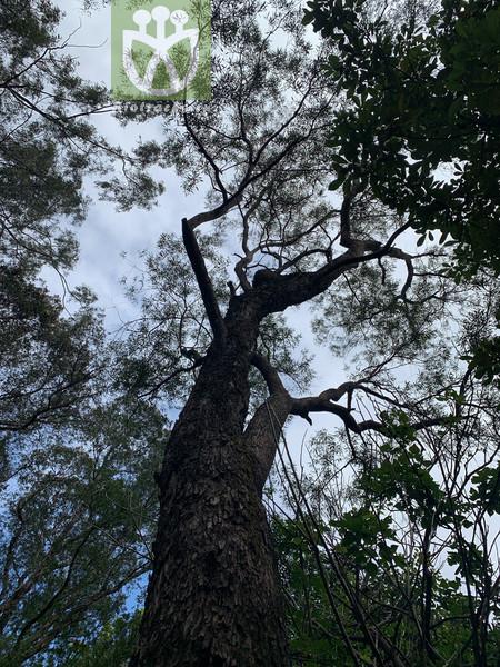 Eucalyptus exserta