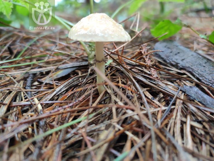 Cercocarpus mojadensis