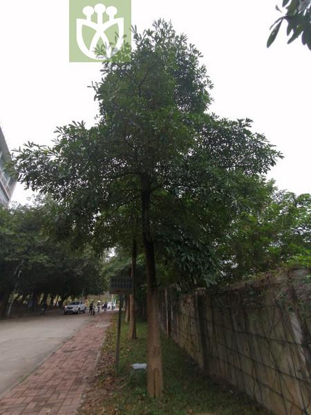 Acacia dolichocephala