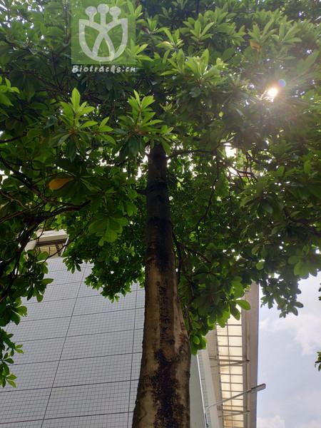 Elaeocarpus balansae