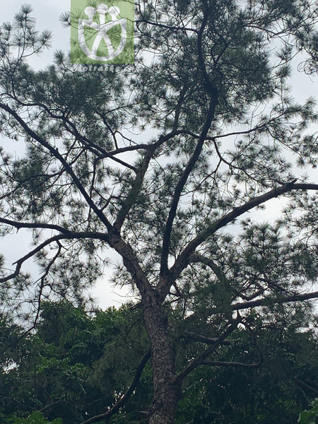 Lonicera hypoglauca subsp. nudiflora