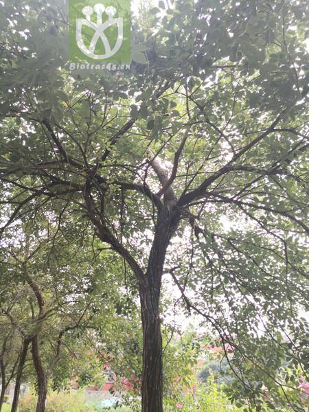 Populus candicans