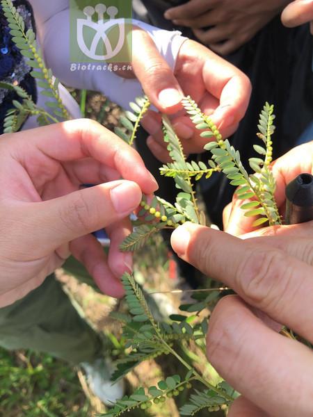 Phyllanthus ussuriensis