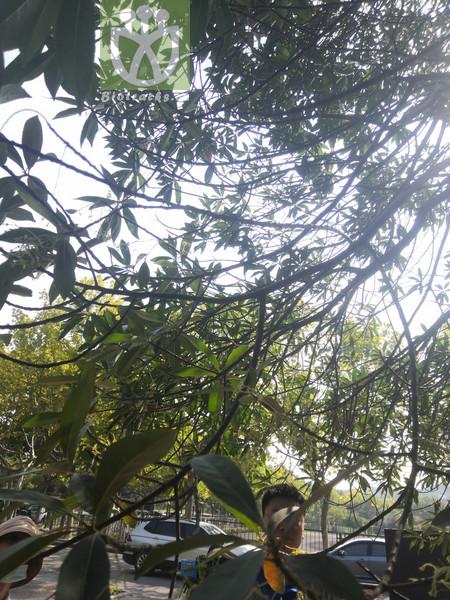 Elaeocarpus glabripetalus var. glabripetalus