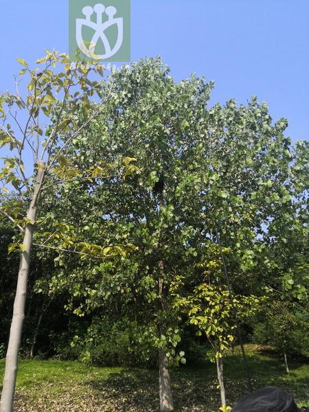 Populus simonii
