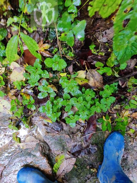 Origanum vulgare subsp. humile