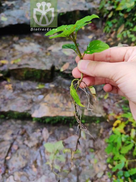 Origanum purpurescens