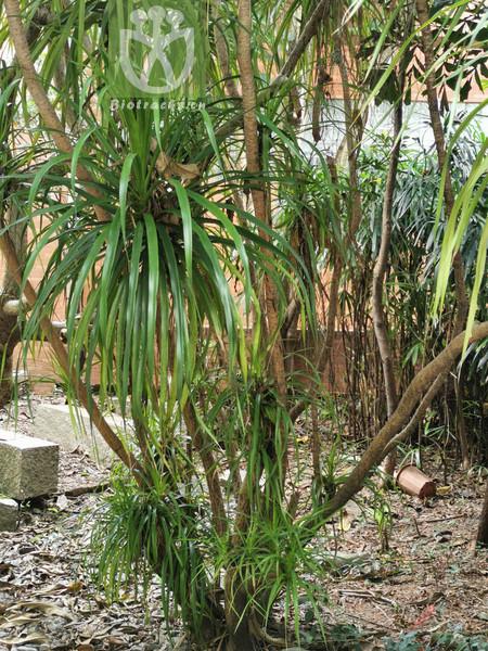 Cystopteris deqinensis
