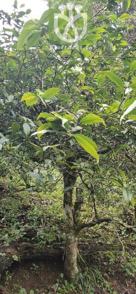 Elaeocarpus duclouxii