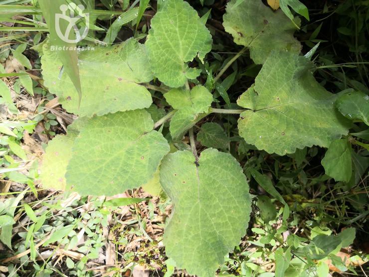 Salvia umbratica