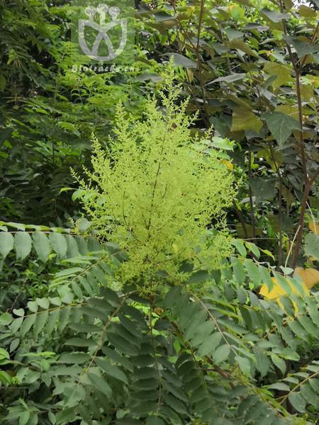 Ailanthus procera