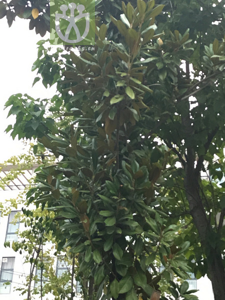 Magnolia elliptica