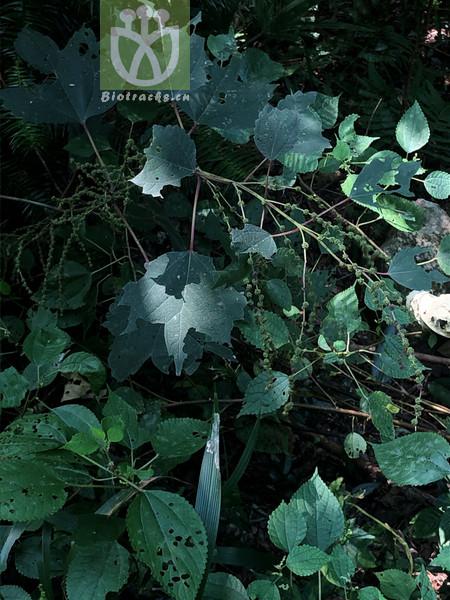 Boehmeria longispica var. tricuspis