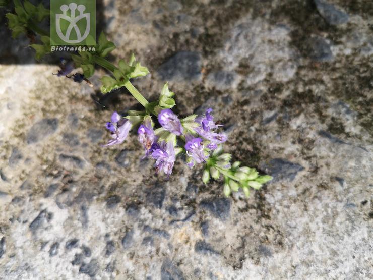 Salvia substolonifera