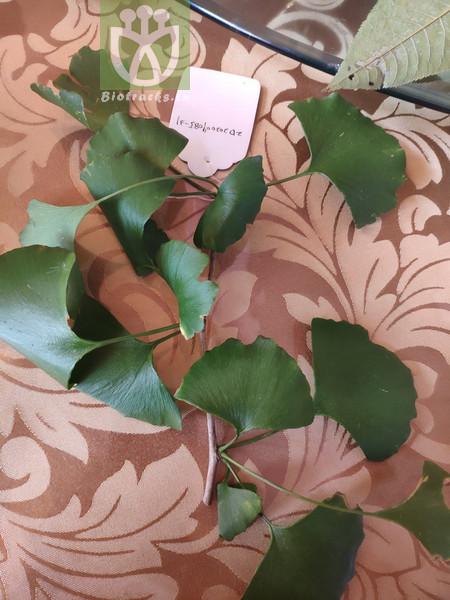 Salisburia adiantifolia var. pendula