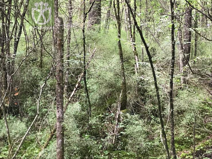 Abies fabri subsp. fabri