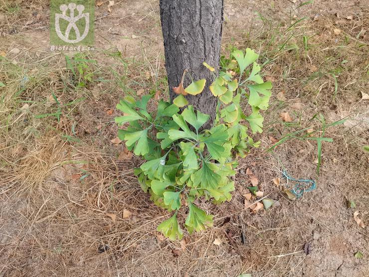 Salisburia macrophylla