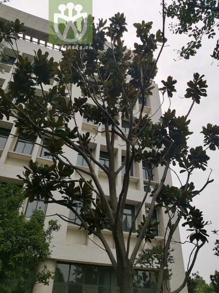 Magnolia microphylla