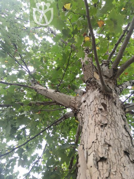 Platanus acerifolia