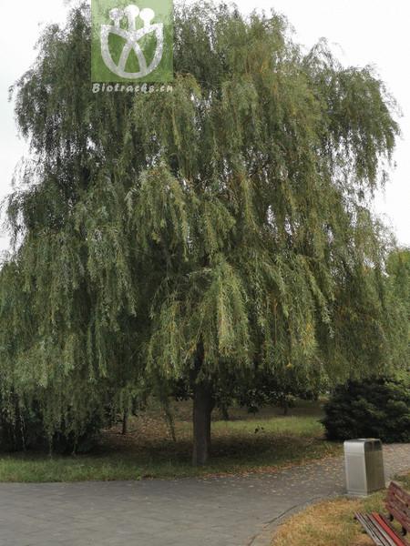 Salix subfragilis
