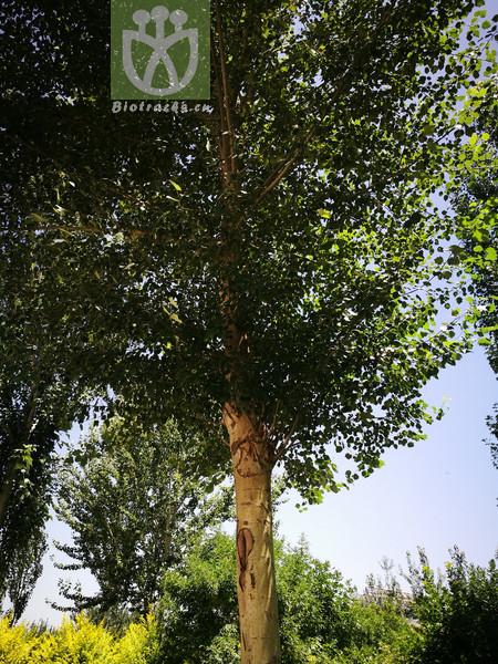 Populus alba var. pyramidalis