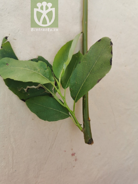 Salix sinica