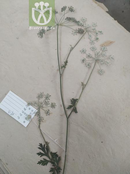 Peucedanum torilifolium